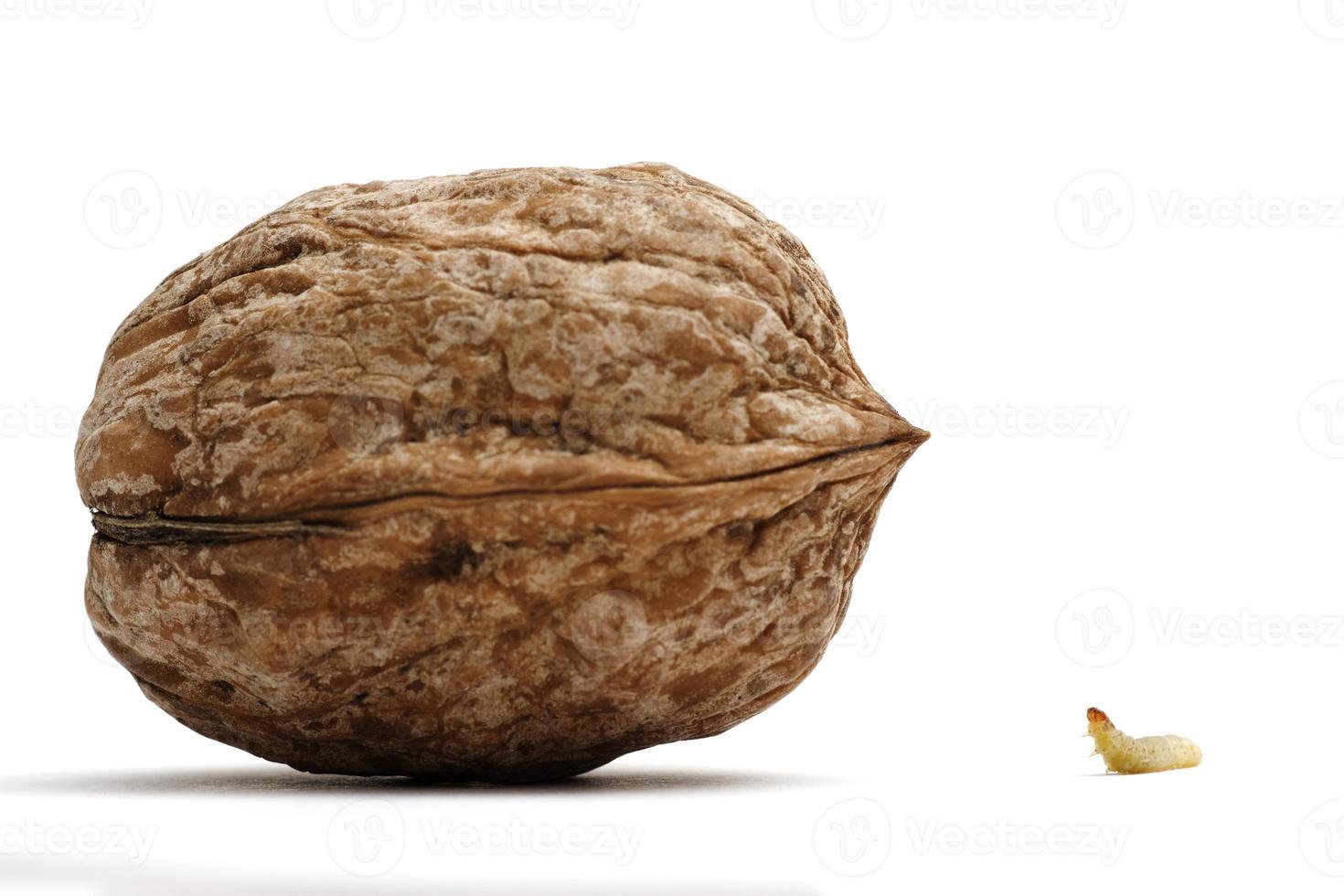 Worm and a walnut photo