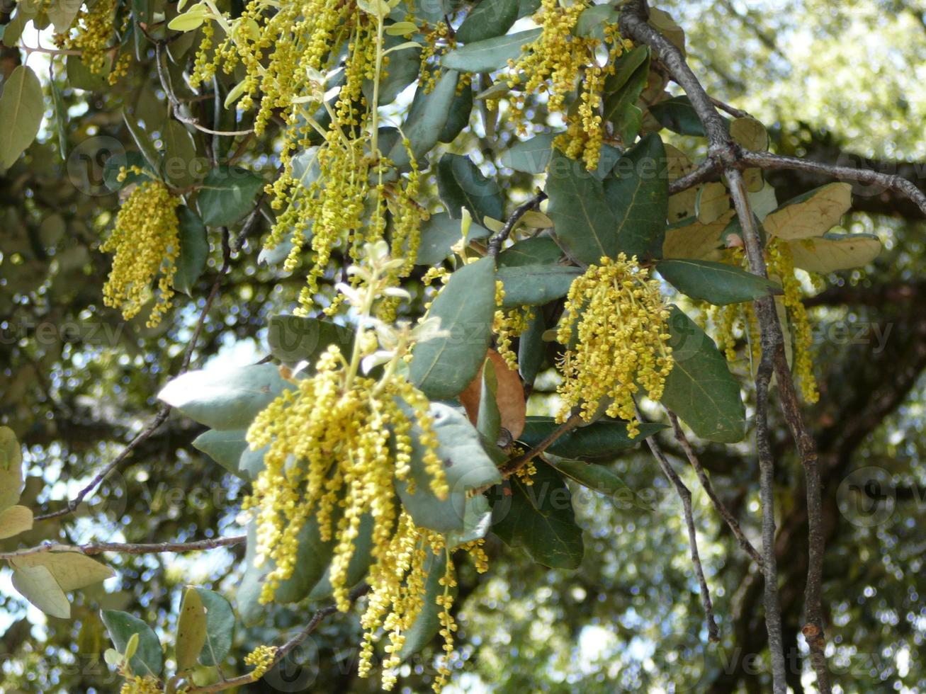 Male pollen-bearing catkins on Coast Live Oak photo