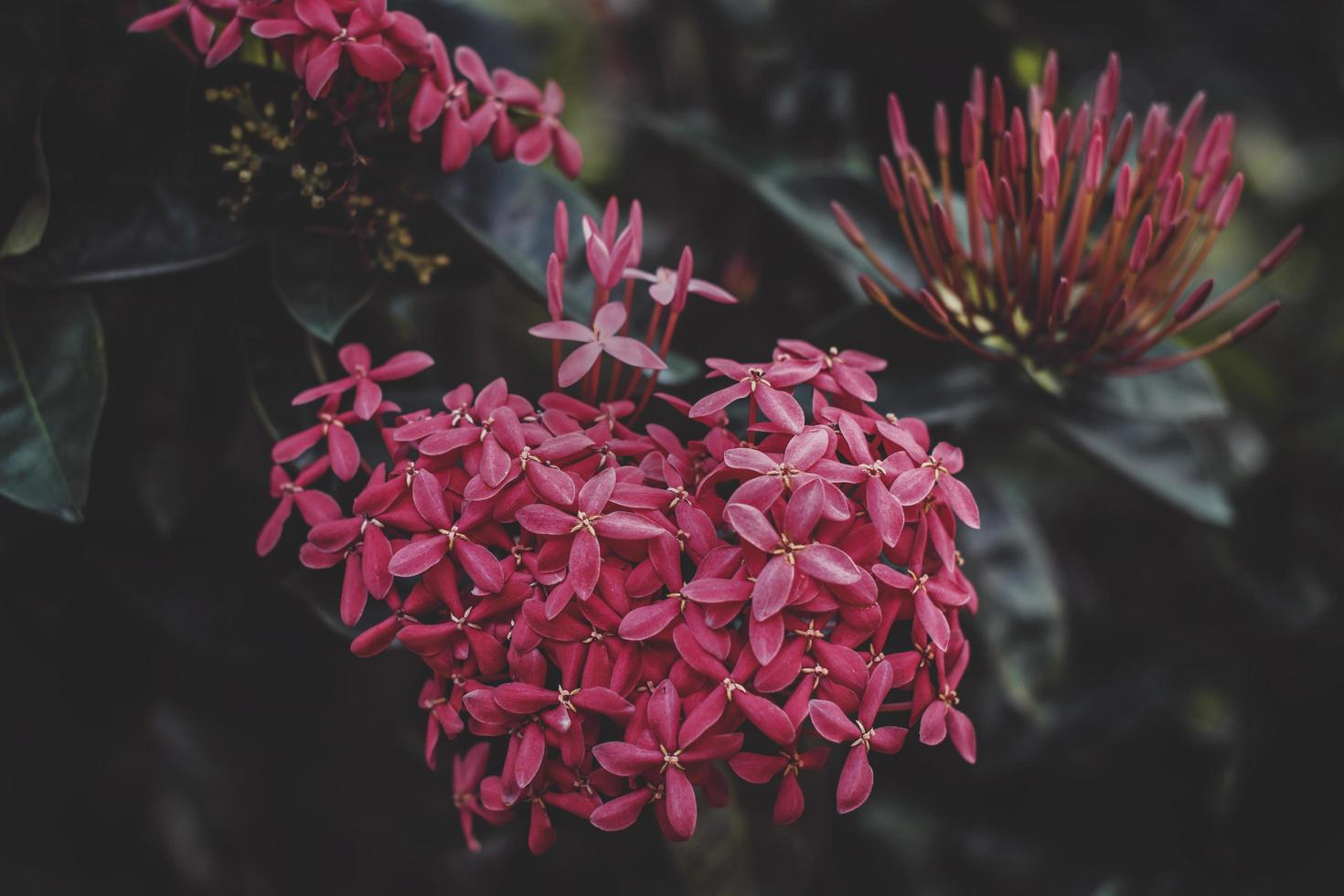 primer plano, de, rojo, ixora, flores foto