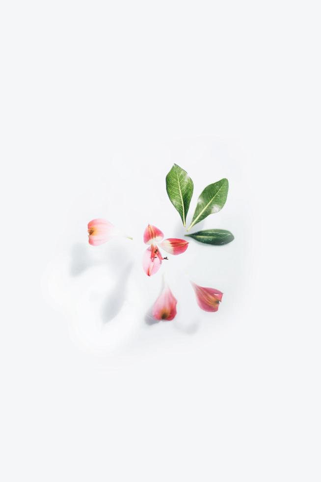 White and red flower with green leaves photo