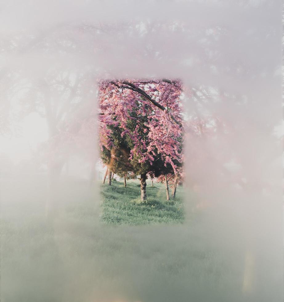 A glimpse of cherry blossom trees  photo