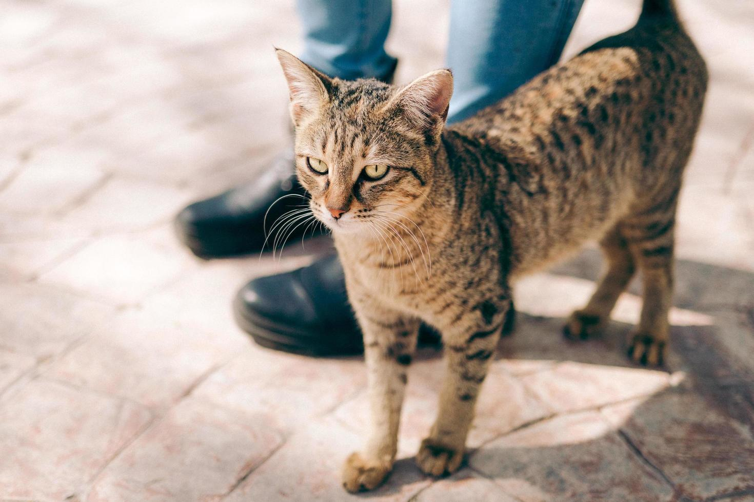 Brown tabby cat  photo