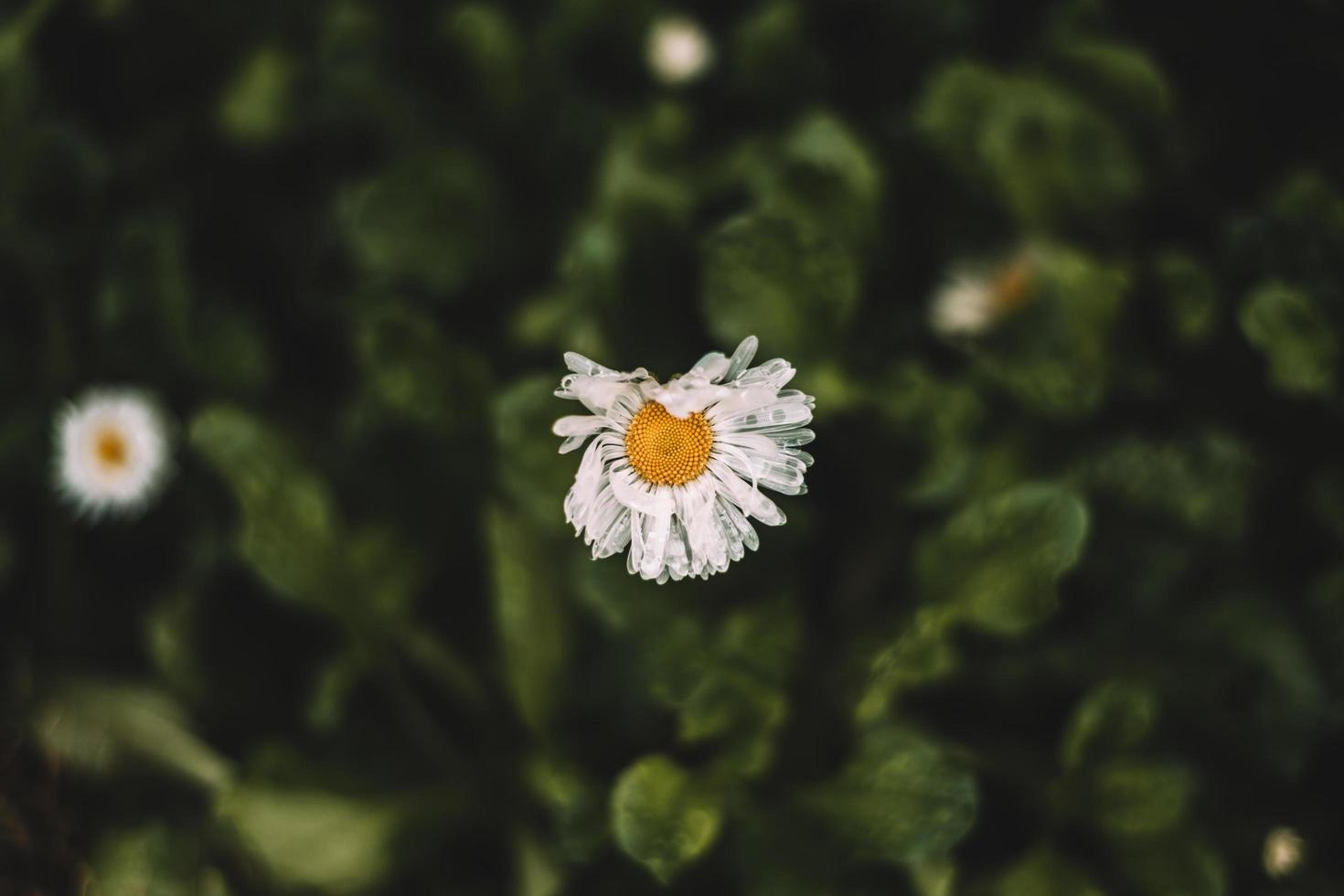 Top view of a worn daisy photo