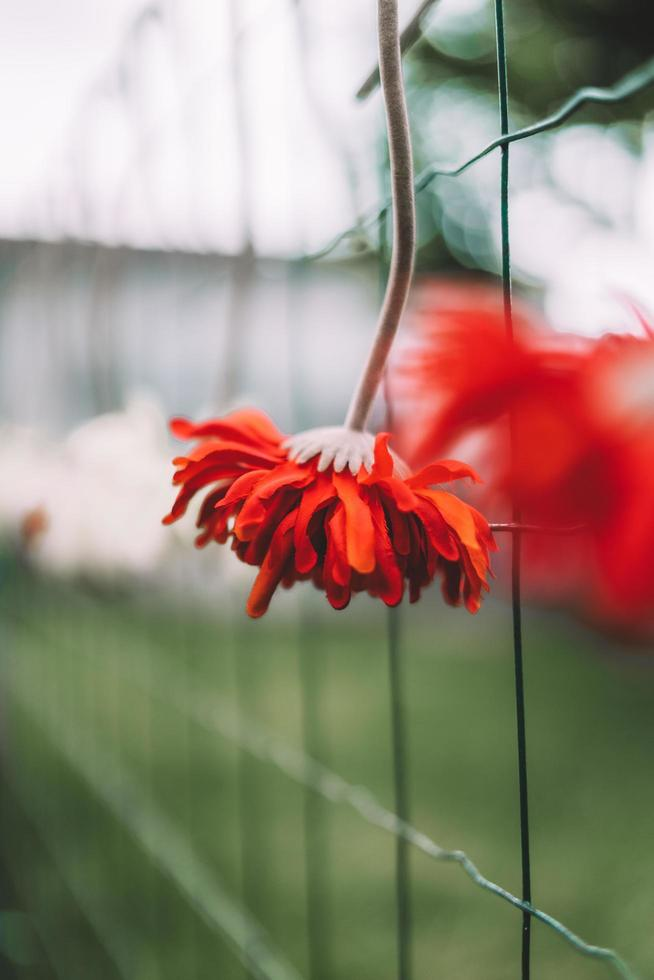 Red flower on fence photo
