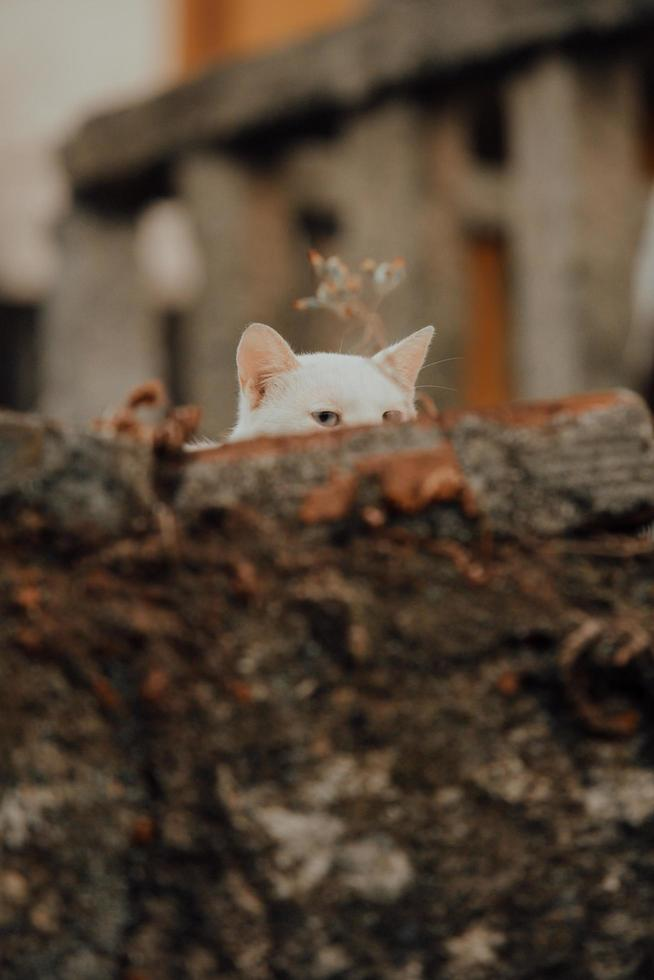White cat spying over a wall photo