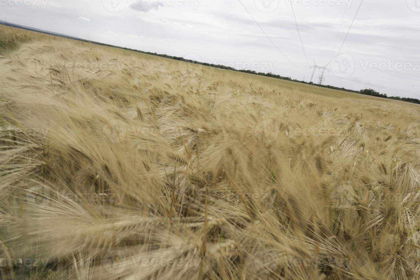 Triticale field photo
