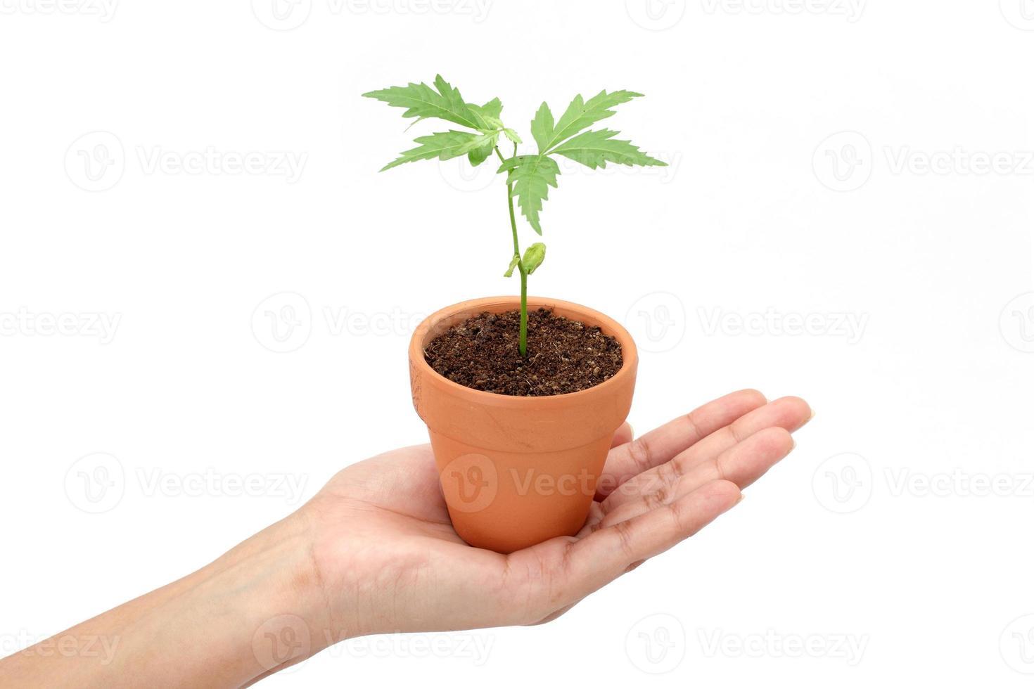 mano sosteniendo baby plant en blanco foto