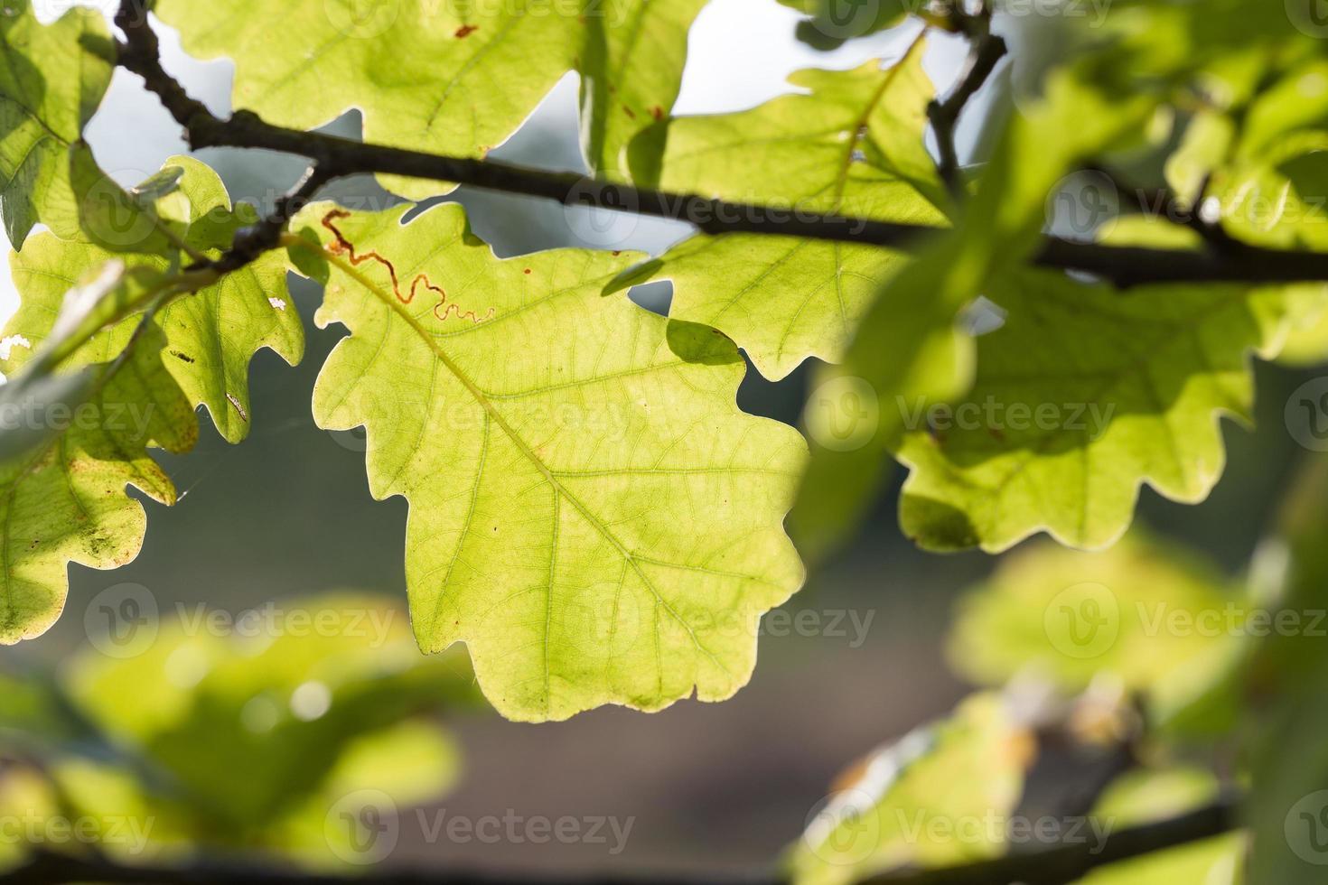hojas de roble se tambalean por el viento en la naturaleza. foto