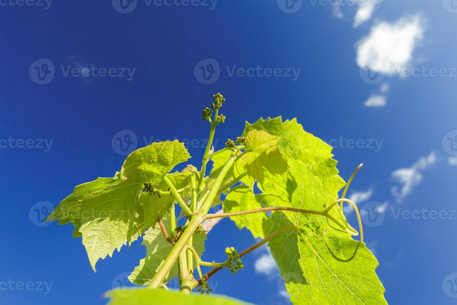 Appearing of flower buds on grape vine young shoots photo