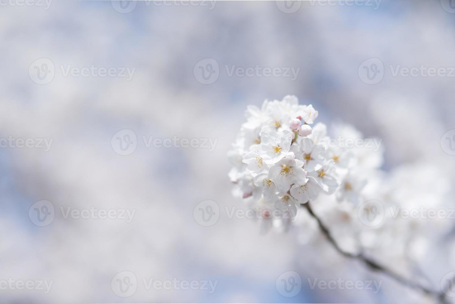 Cherry blossom Image                  white  Cherry blossoms photo