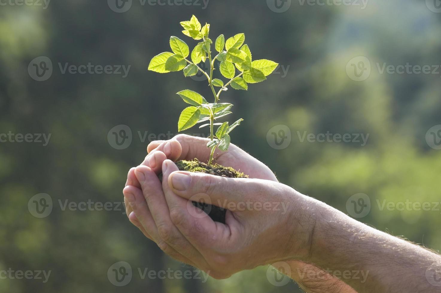 dos manos ahuecando un árbol joven foto