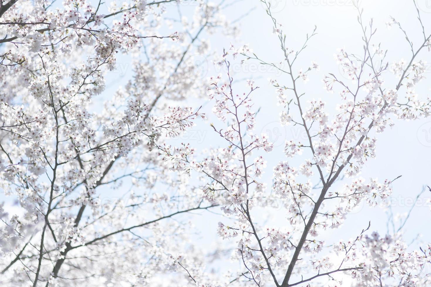 Cherry blossom Image photo