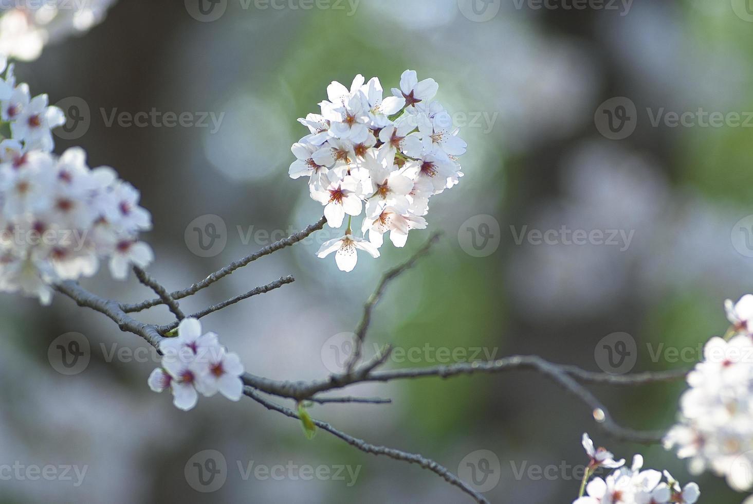 imagen de flor de cerezo foto