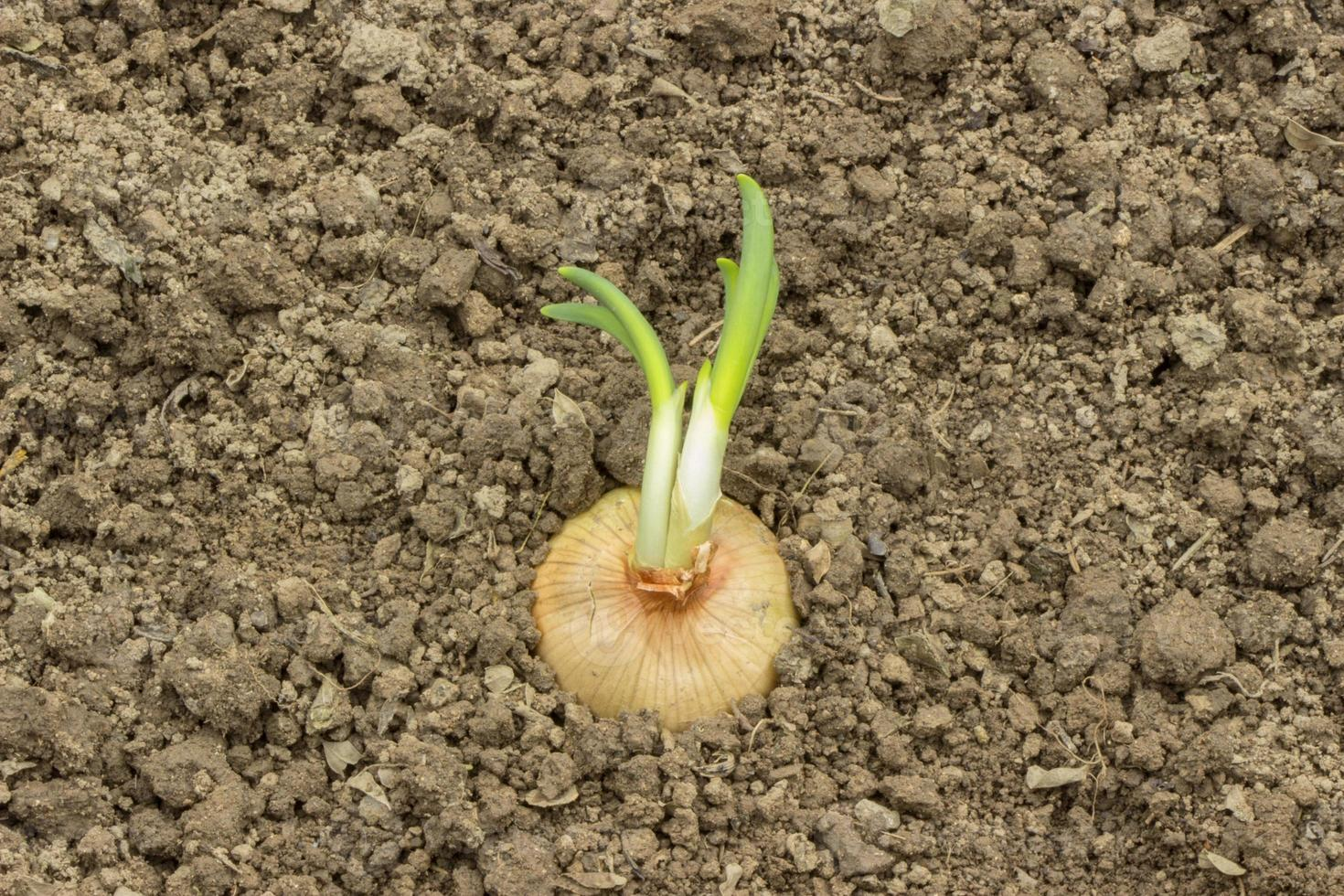 Sprouting onion on the soil background photo