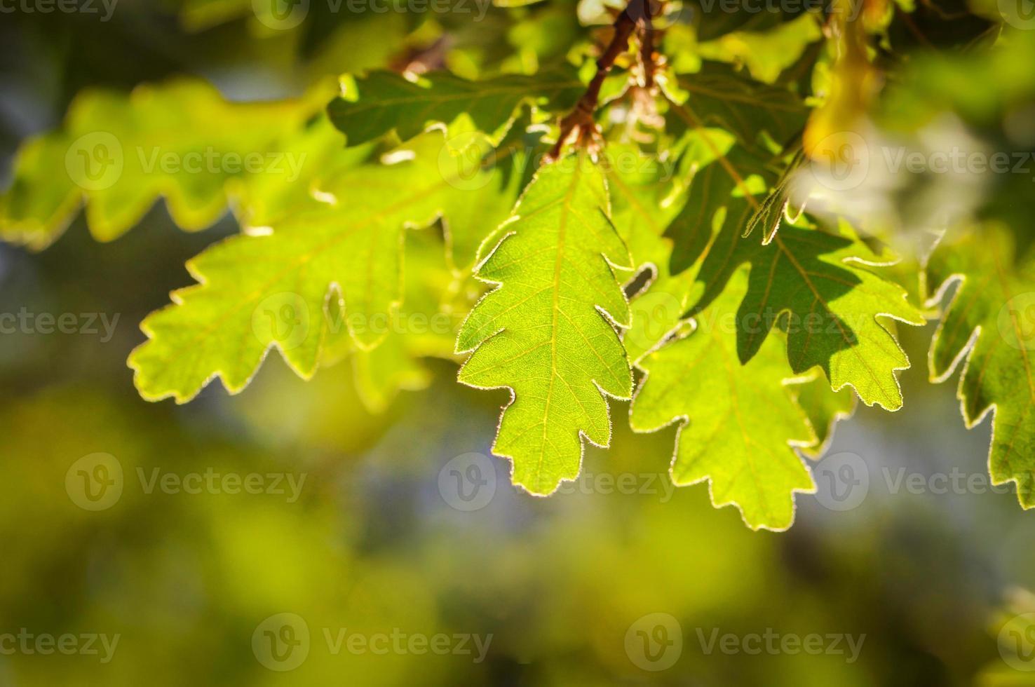 Hojas de roble verde fresco sobre un fondo borroso foto