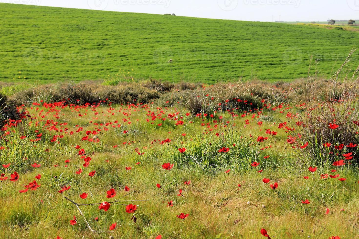 Prado de primavera con flores de anémonas rojas foto