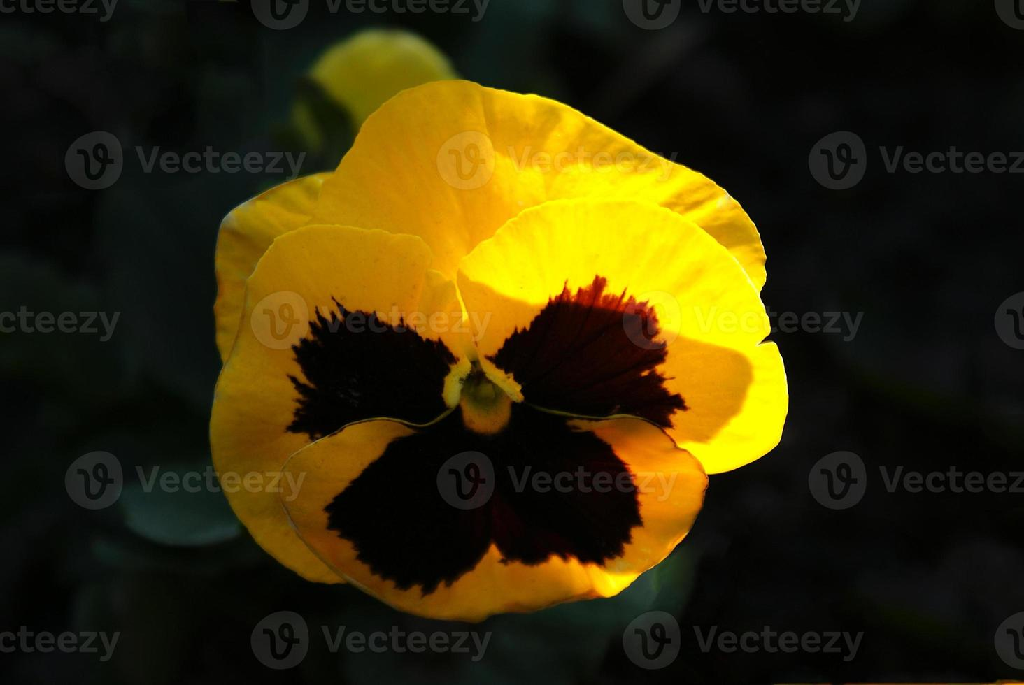 yellow flower Viola tricolor on a black background photo