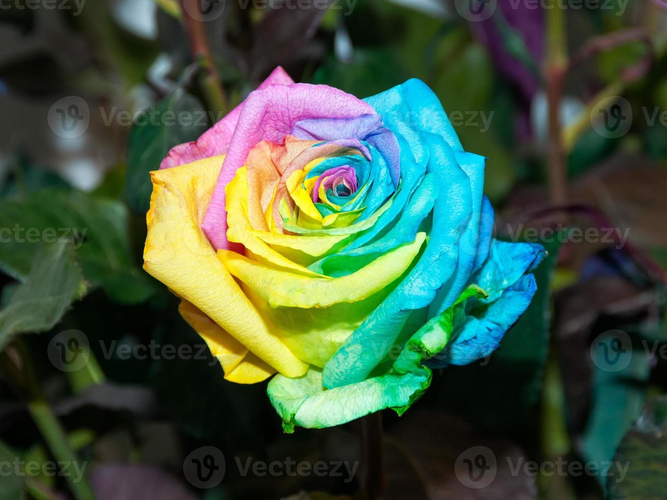 Colorful rainbow rose photo