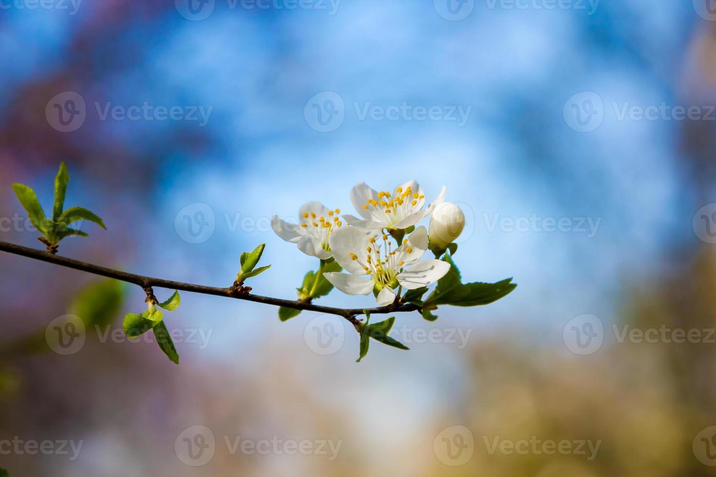 springtime cherry tree photo
