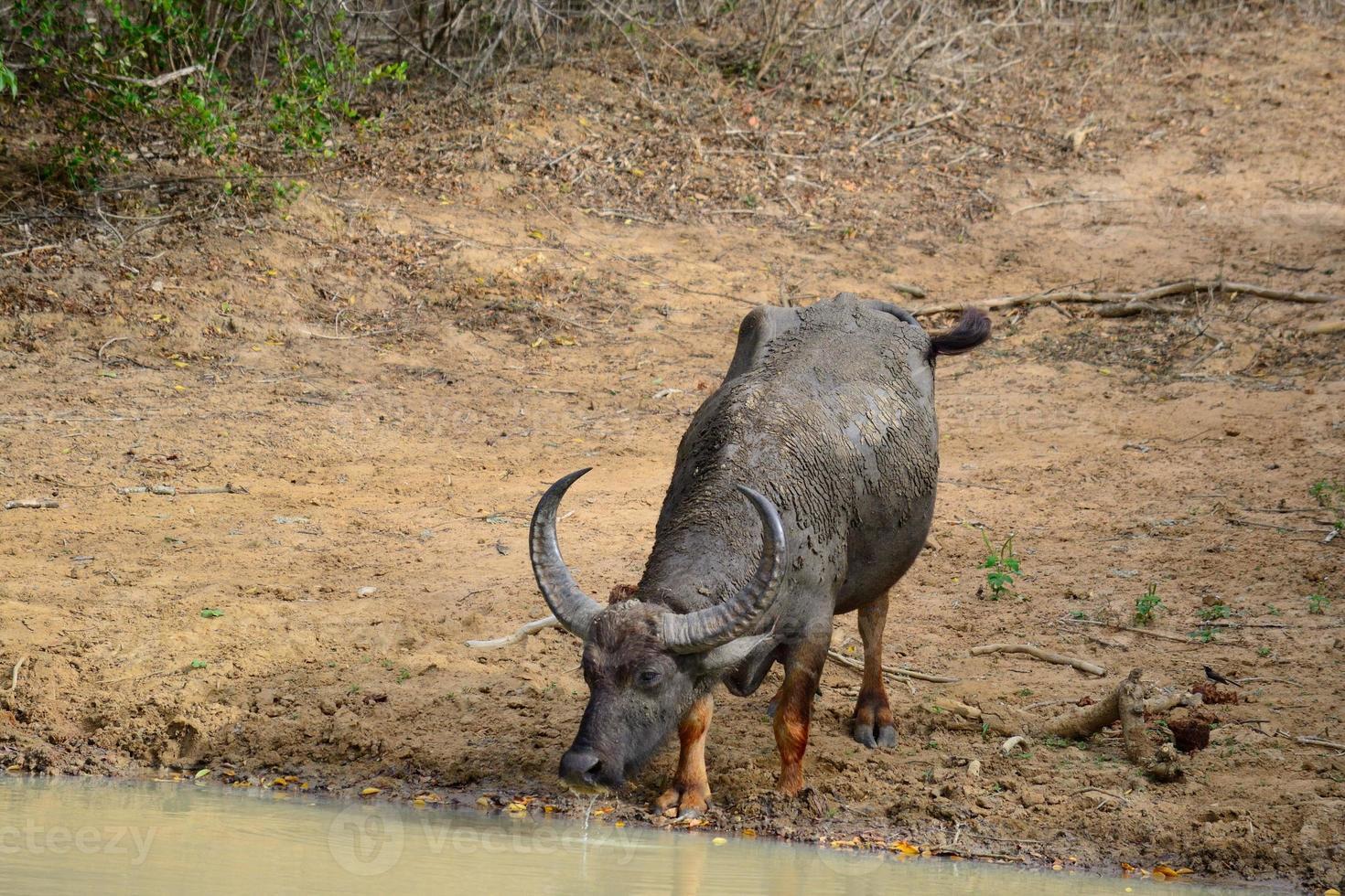 búfalo de agua foto