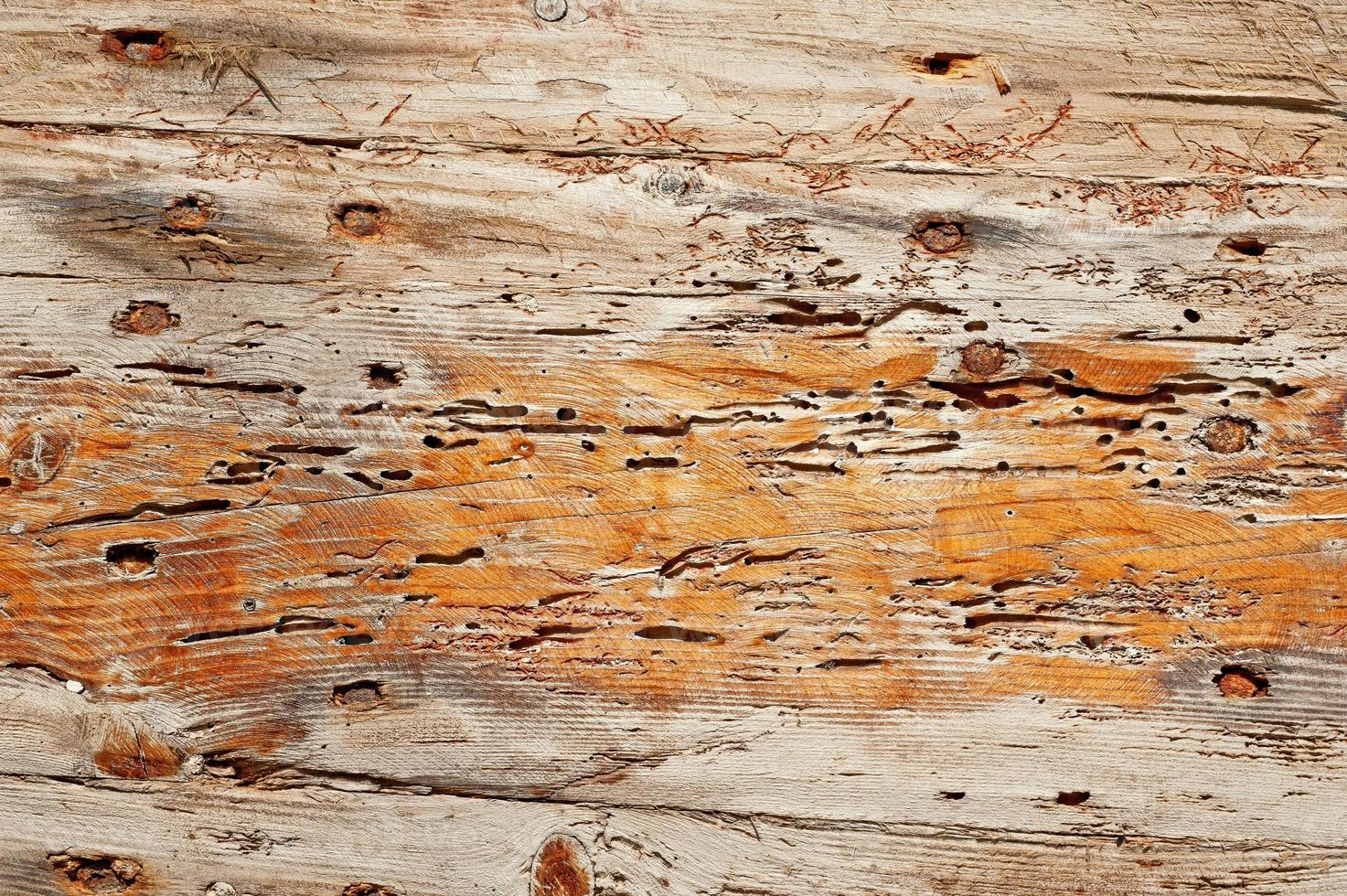 Anobium thomsoni daños en madera foto