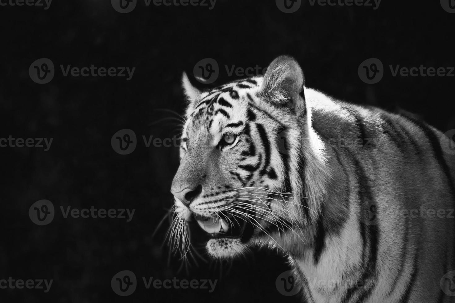 retrato de tigres amur foto