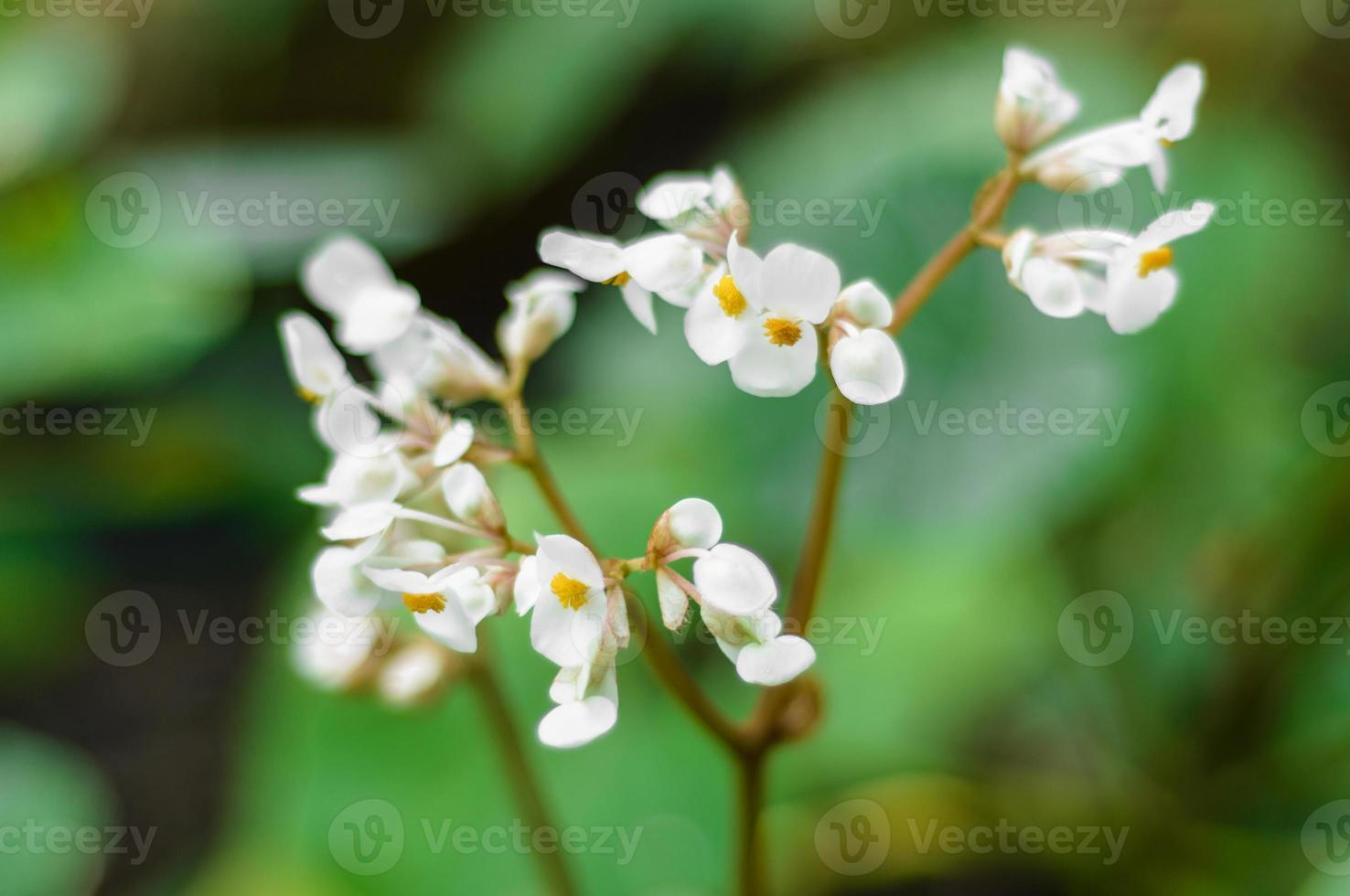 white begoniaceae flower photo