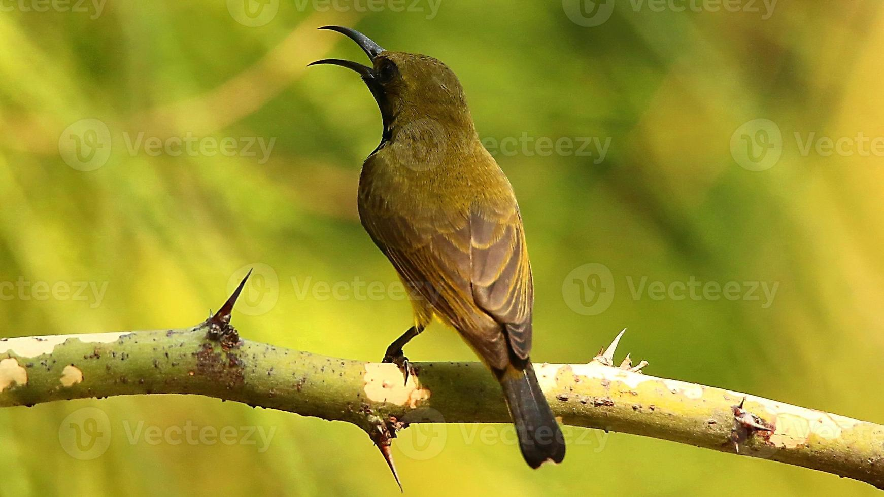 Male Olive-backed Sunbird Resting on Tree photo