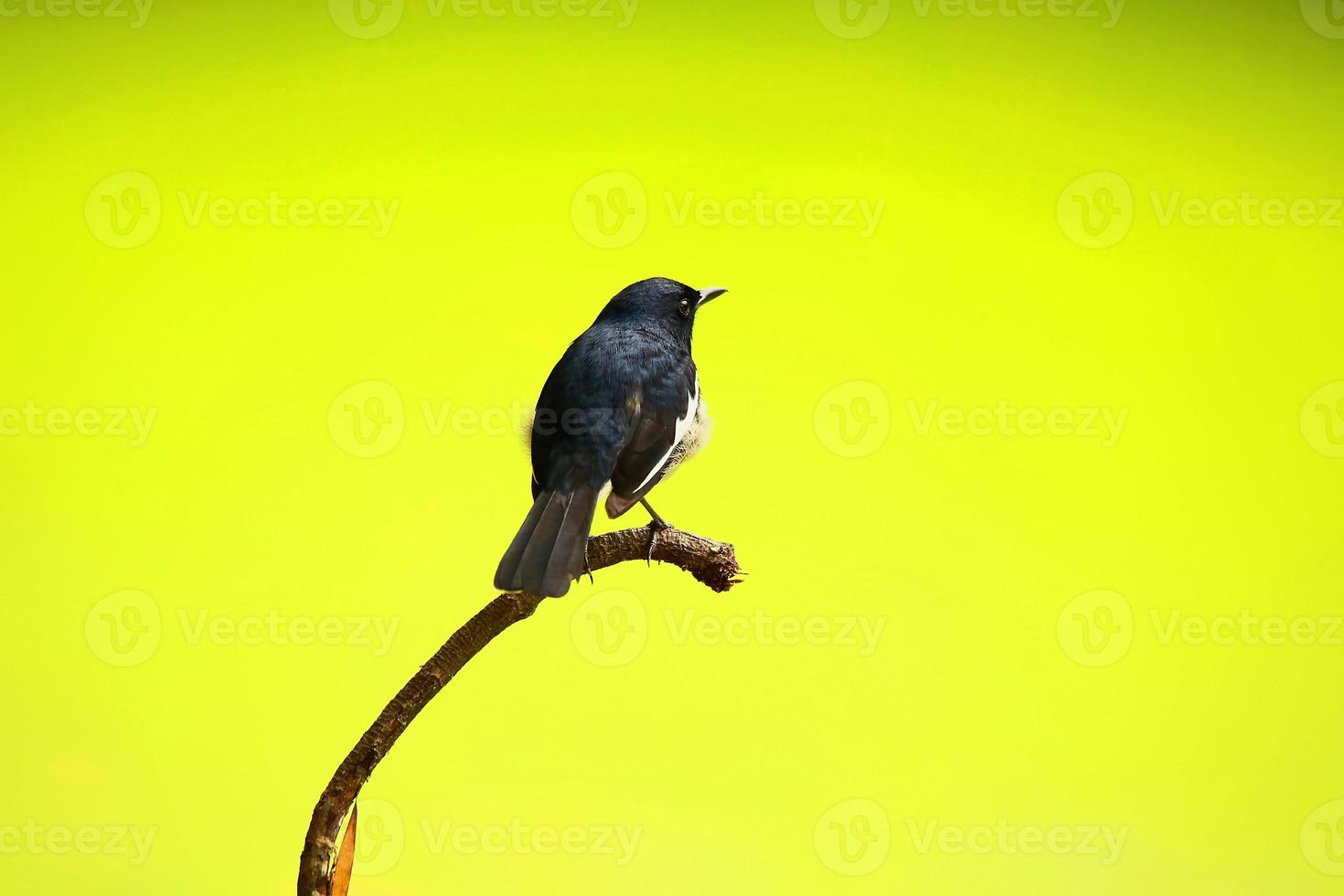 Male Oriental Magpie Robin Standing on Tree photo