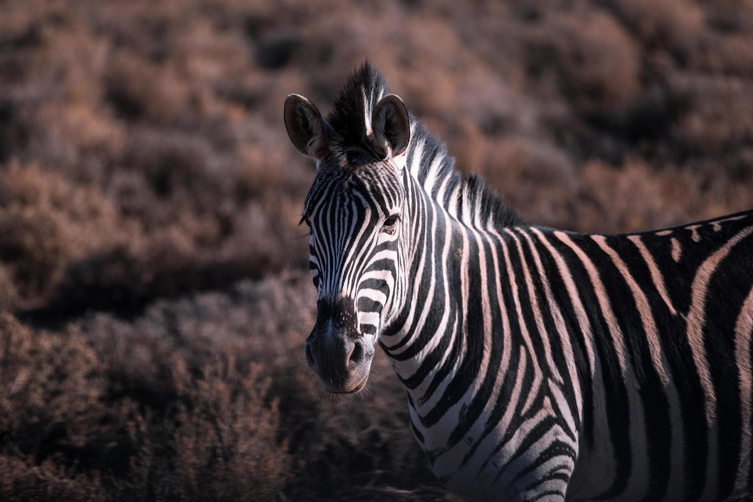 Zebra in a field photo