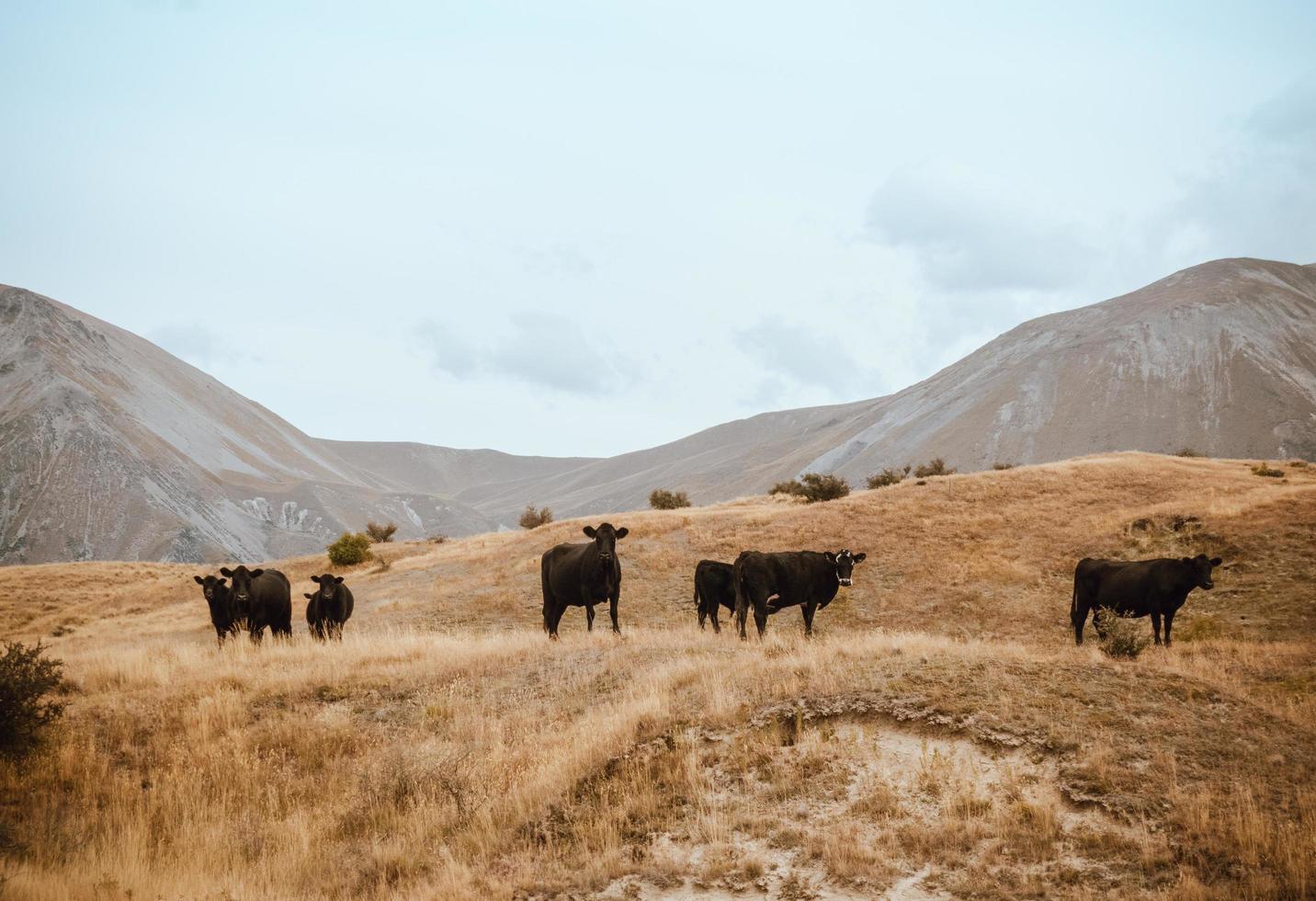 Herd of cattle in field photo