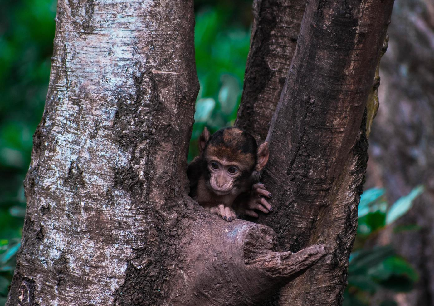Monkey peering out from tree photo
