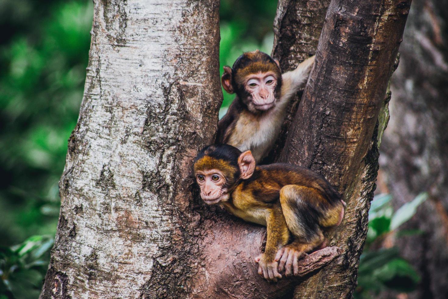 Two brown monkeys in a tree photo