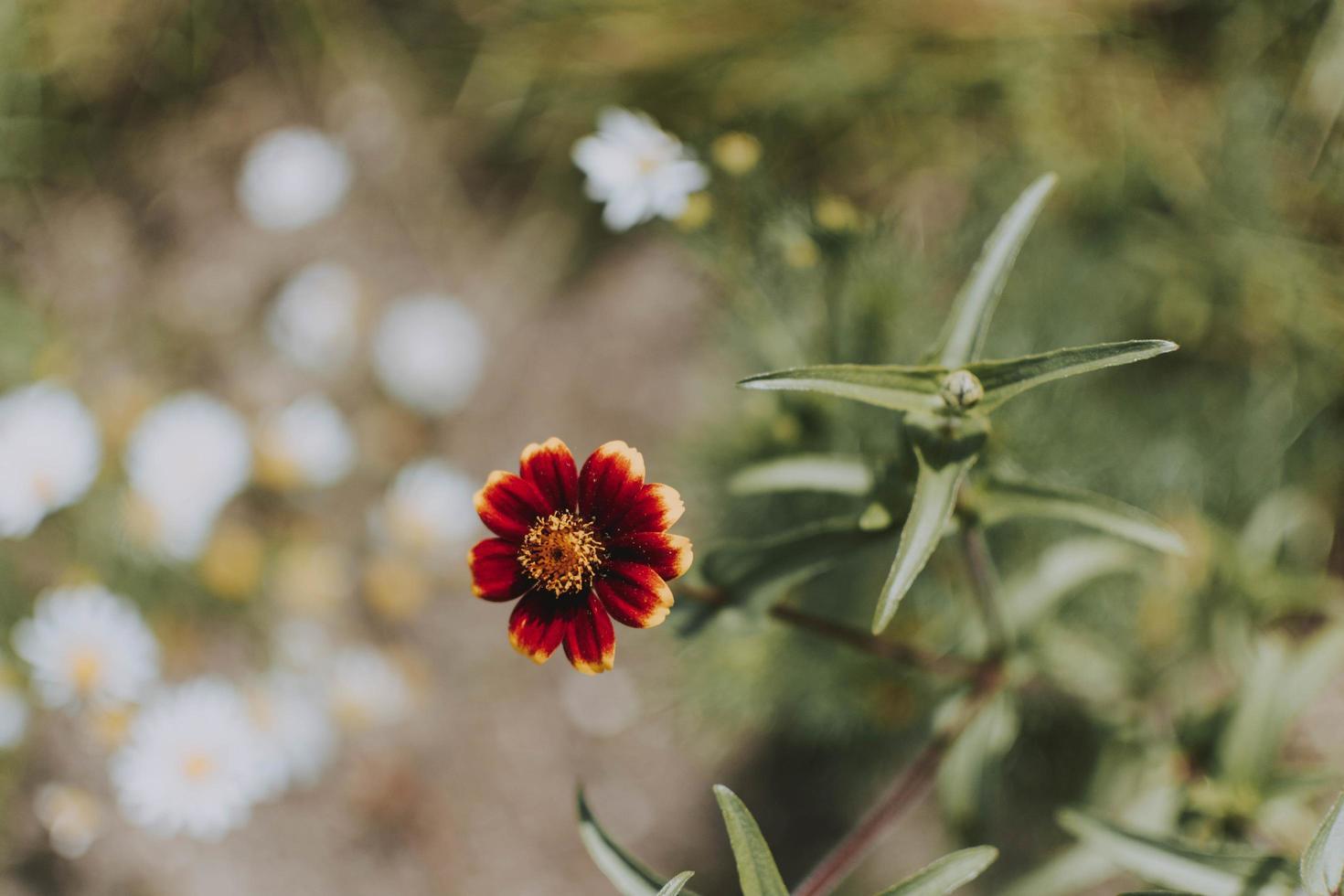 flor roja y amarilla foto
