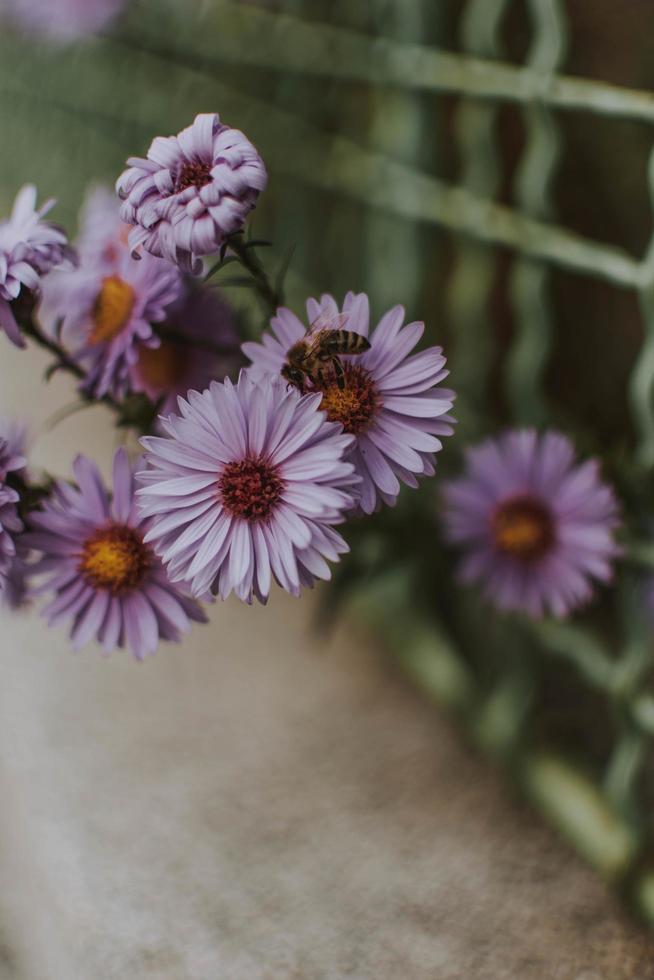 flores moradas que crecen a través de la cerca foto