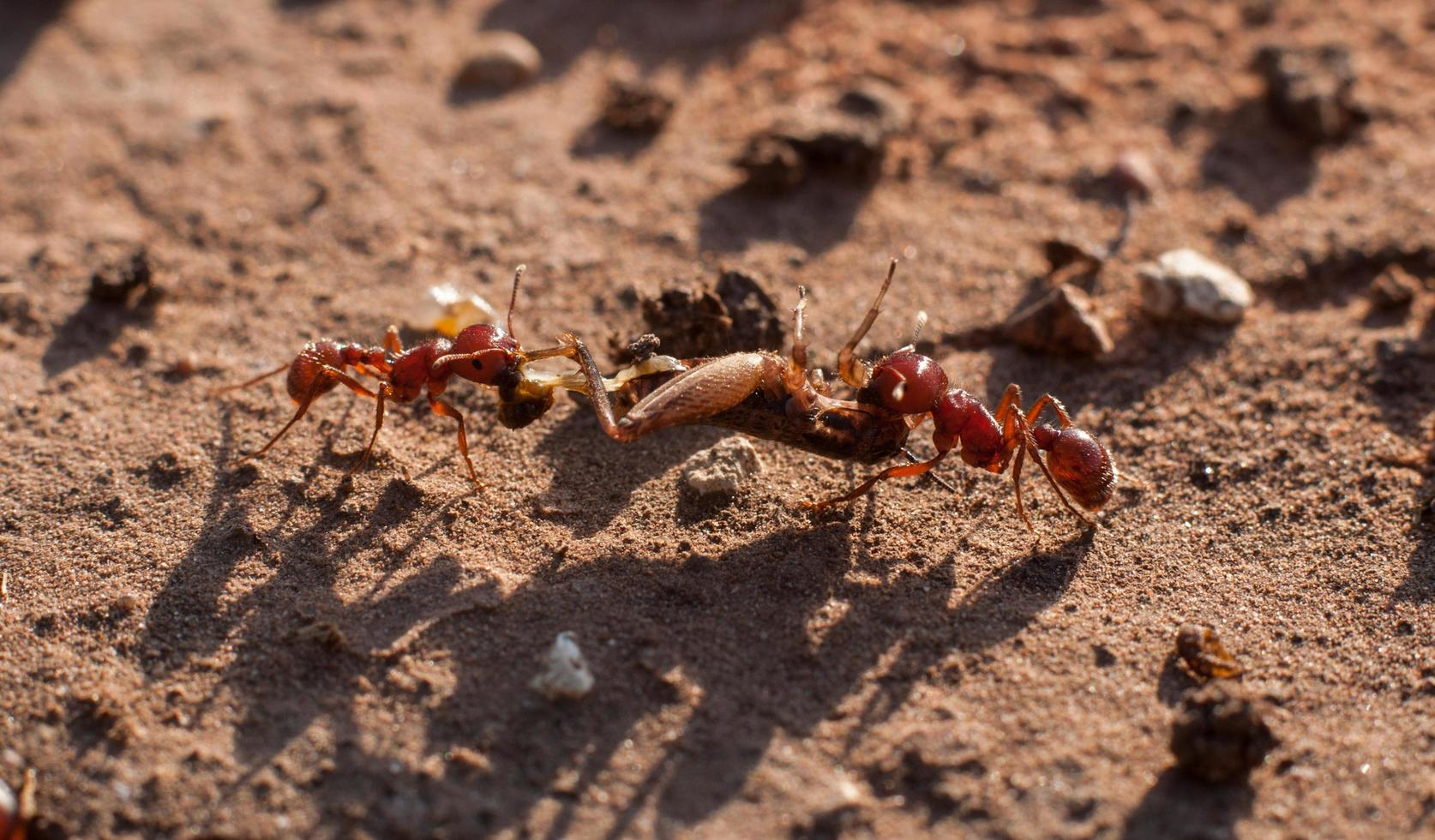 hormigas moviendo saltamontes foto