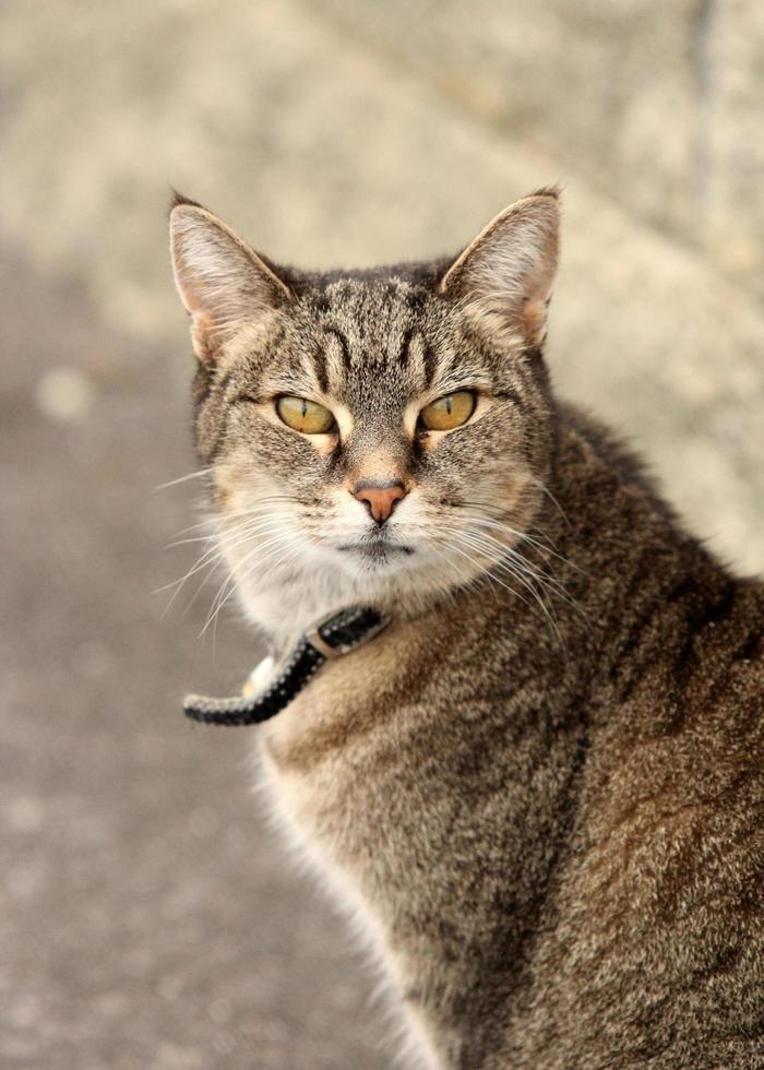 Tabby cat on path photo
