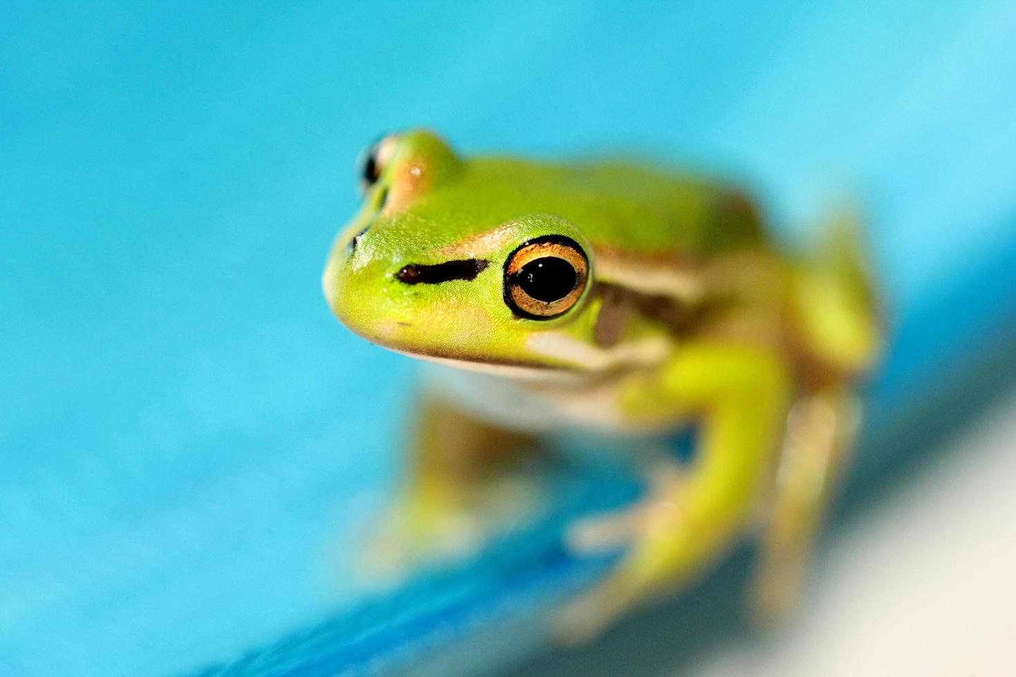 Tiny green bell frog photo