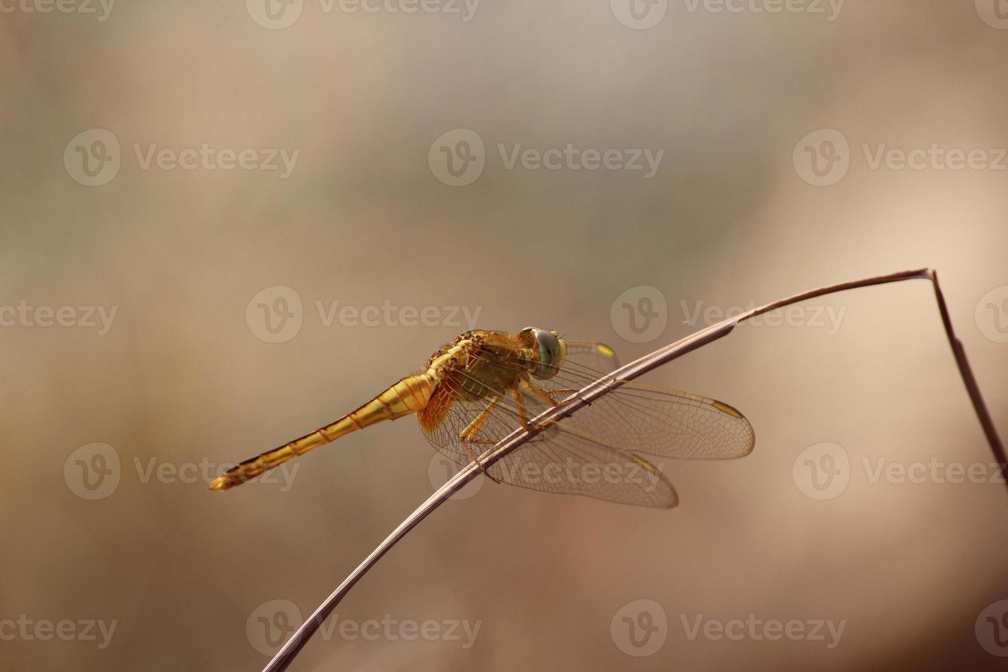 libélulas doradas gomphidae foto