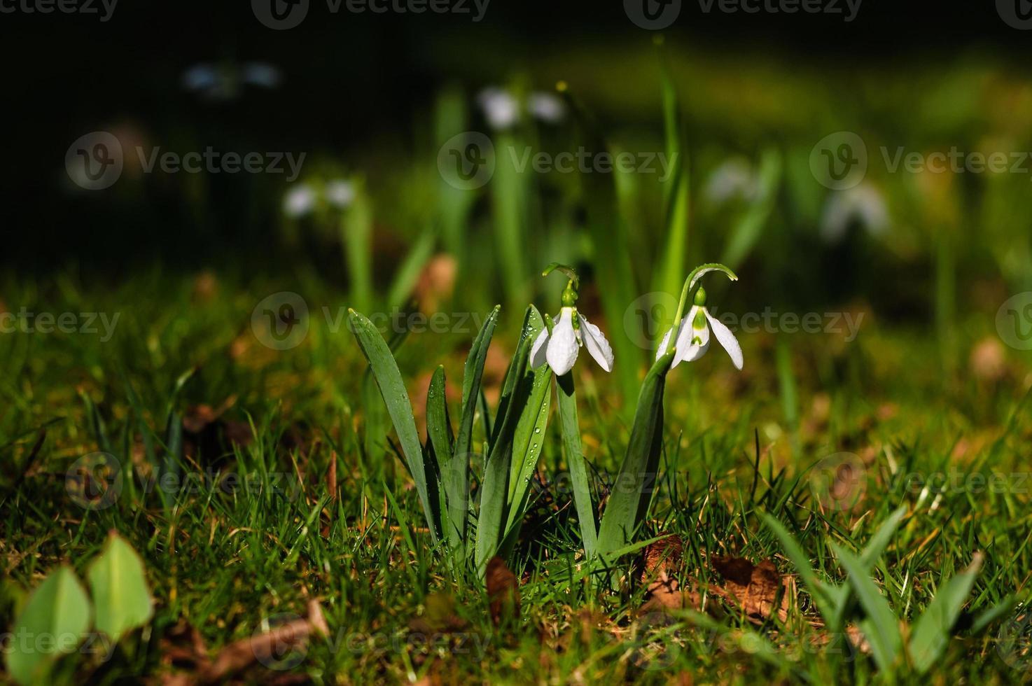 Snowdrop flower in blossom photo