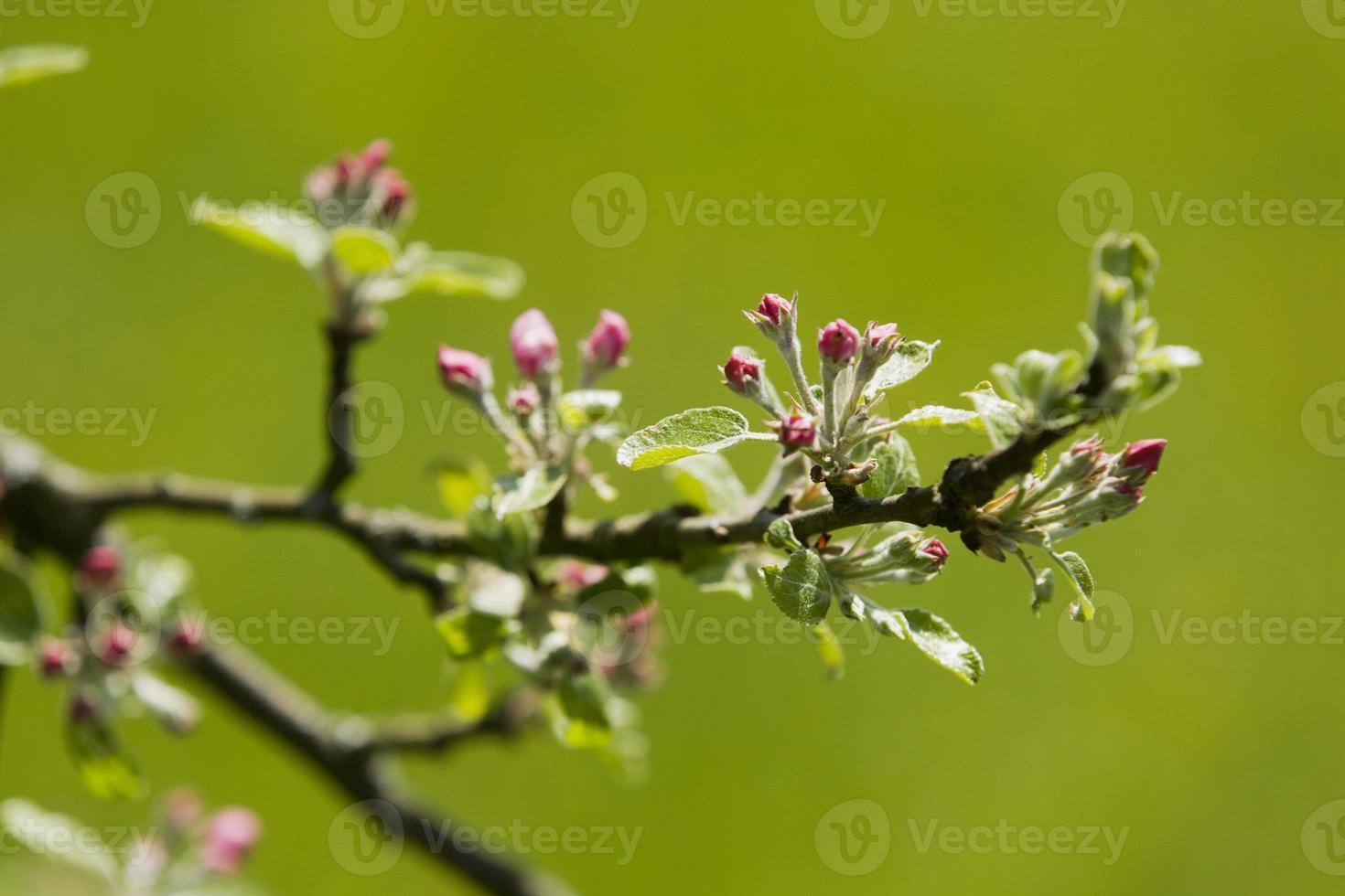 Baden Württemberg, Tübingen, Apple blossom photo