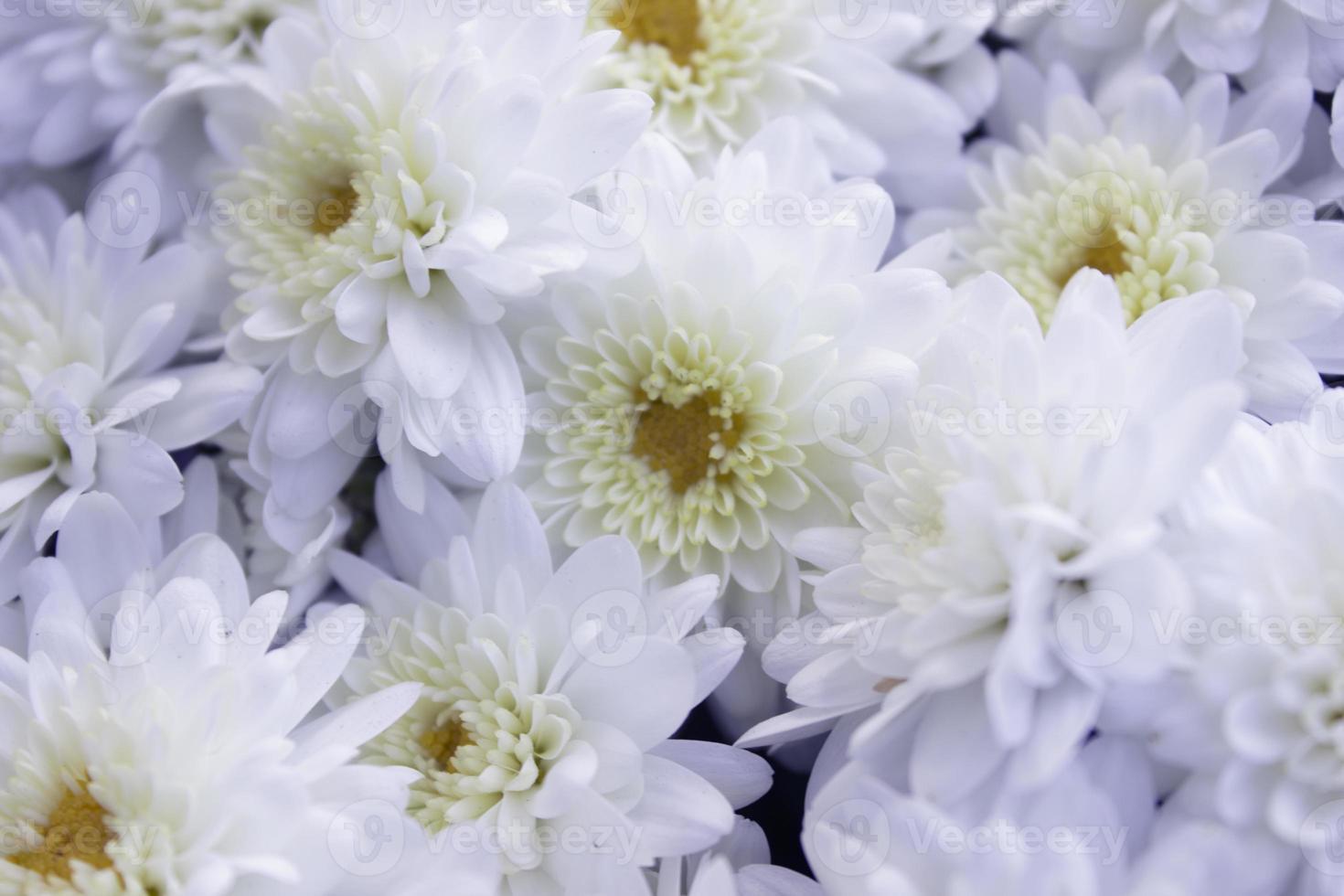 White Chrysanthemum photo