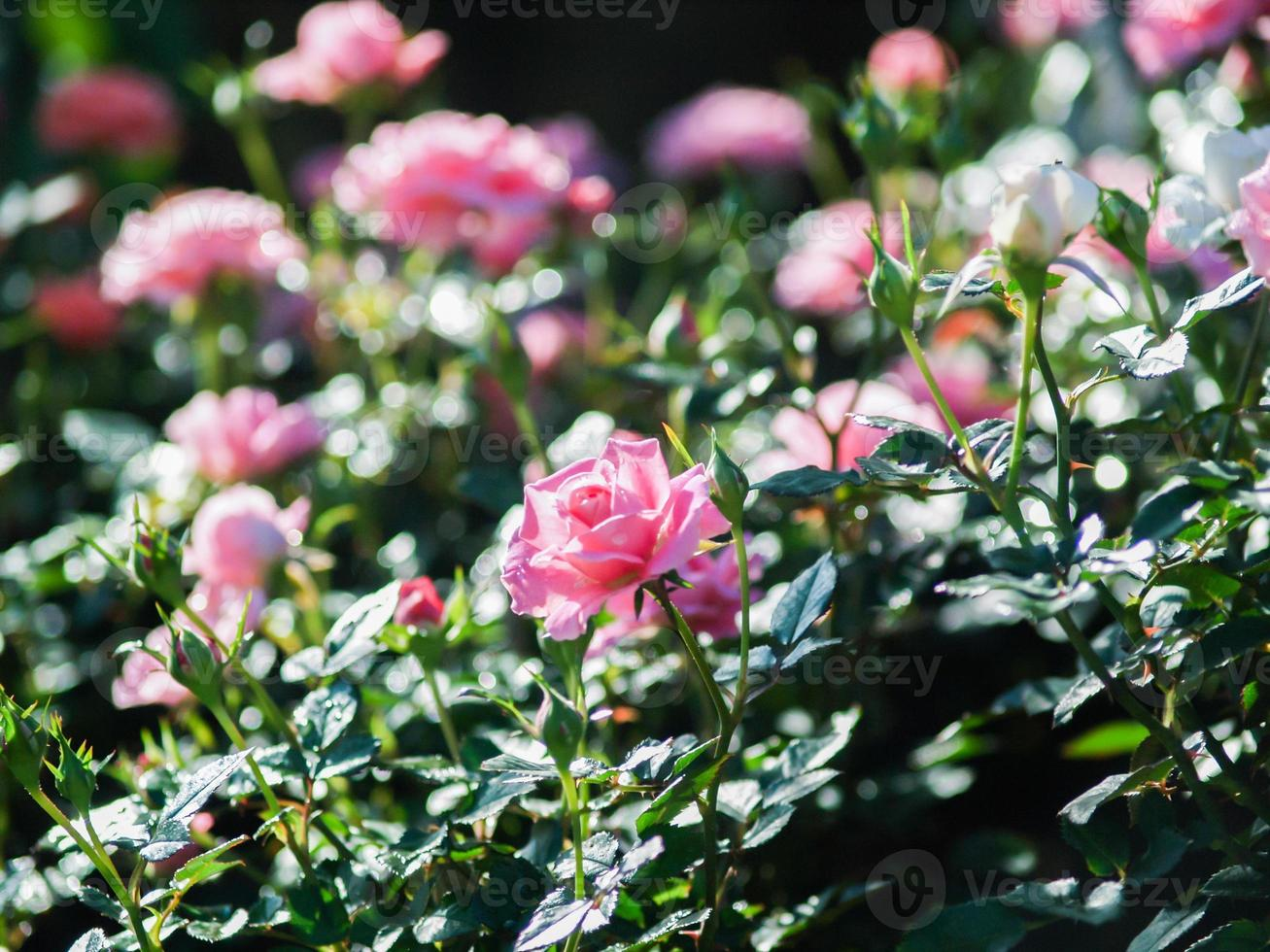roses in garden photo