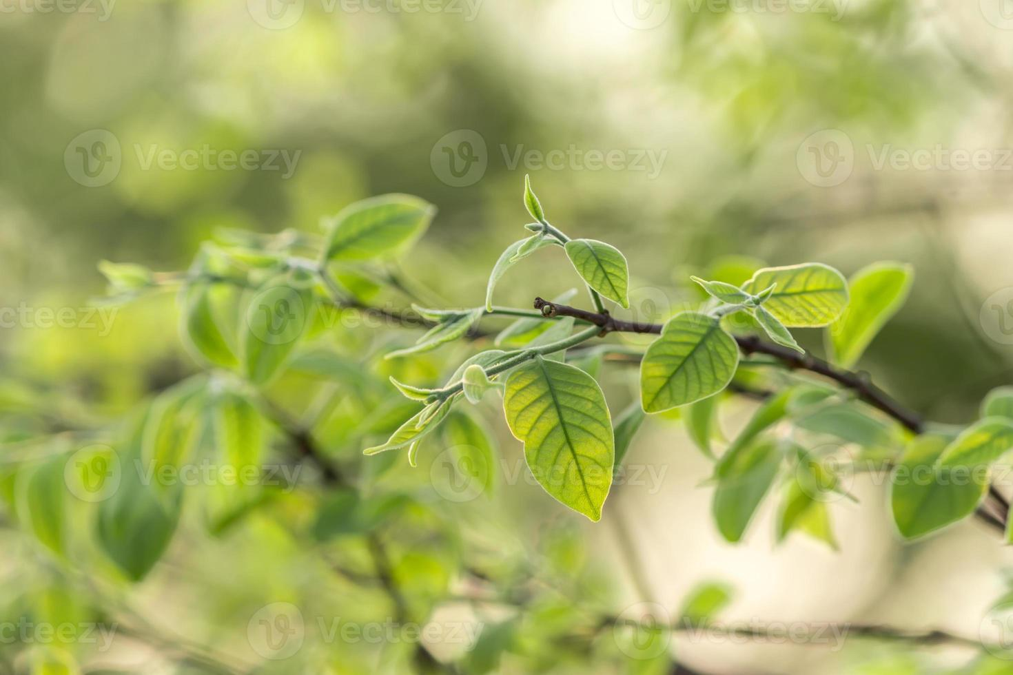 Early spring shoots with tiny leaves. photo