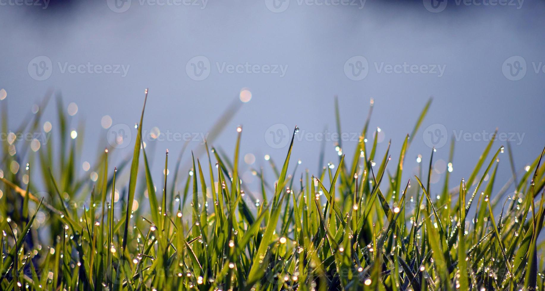Morning dew on blades of grass photo