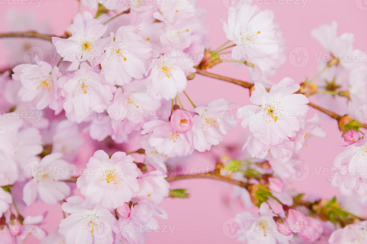 Cherry blossom on pink background photo
