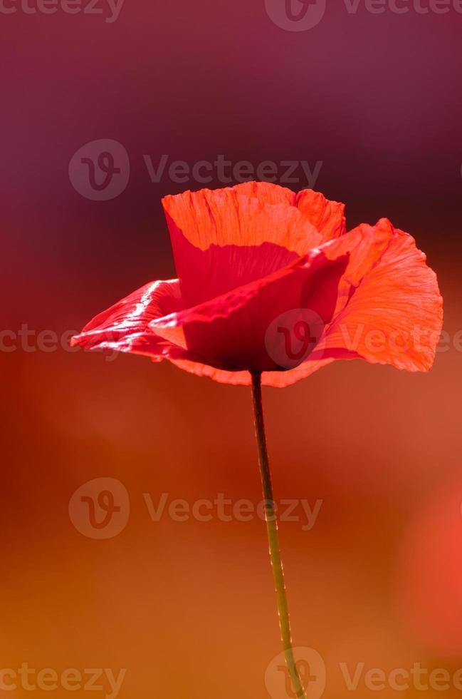 Fleur de pavot, Une seule fleur, Rouge, Violet, Champ photo