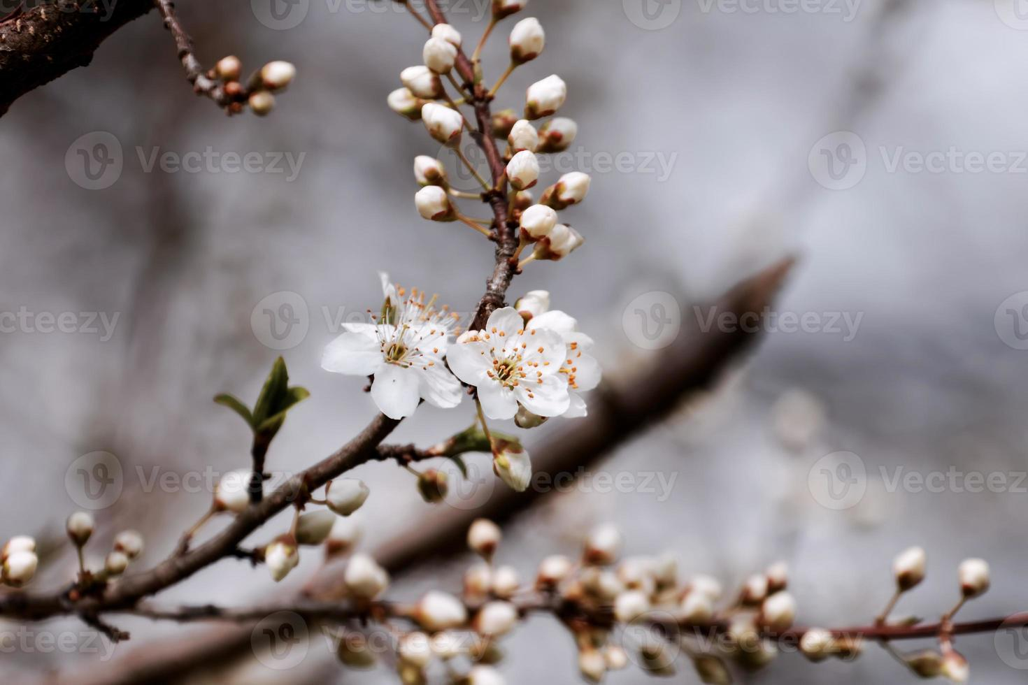 fruits blossom, spring photo