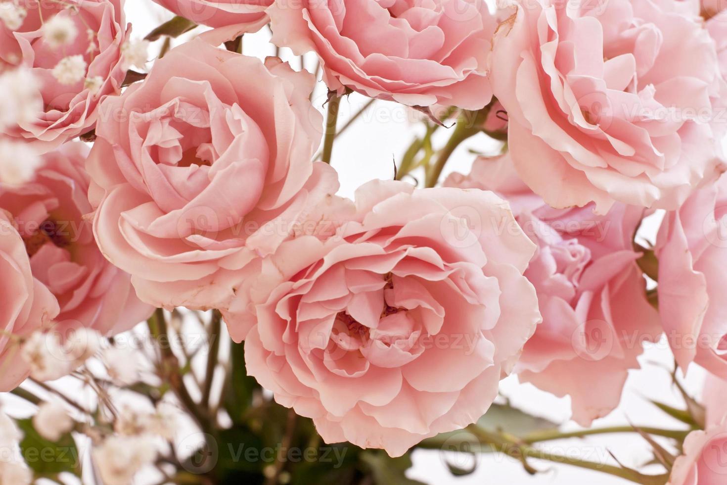 Tender pink tea roses background photo