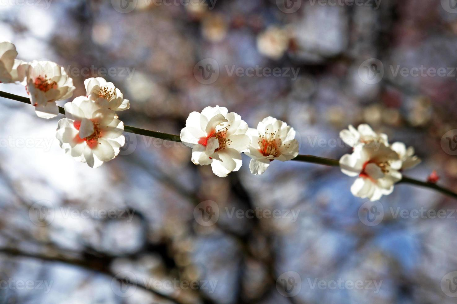 Beautiful flowering Japanese cherry - Sakura photo
